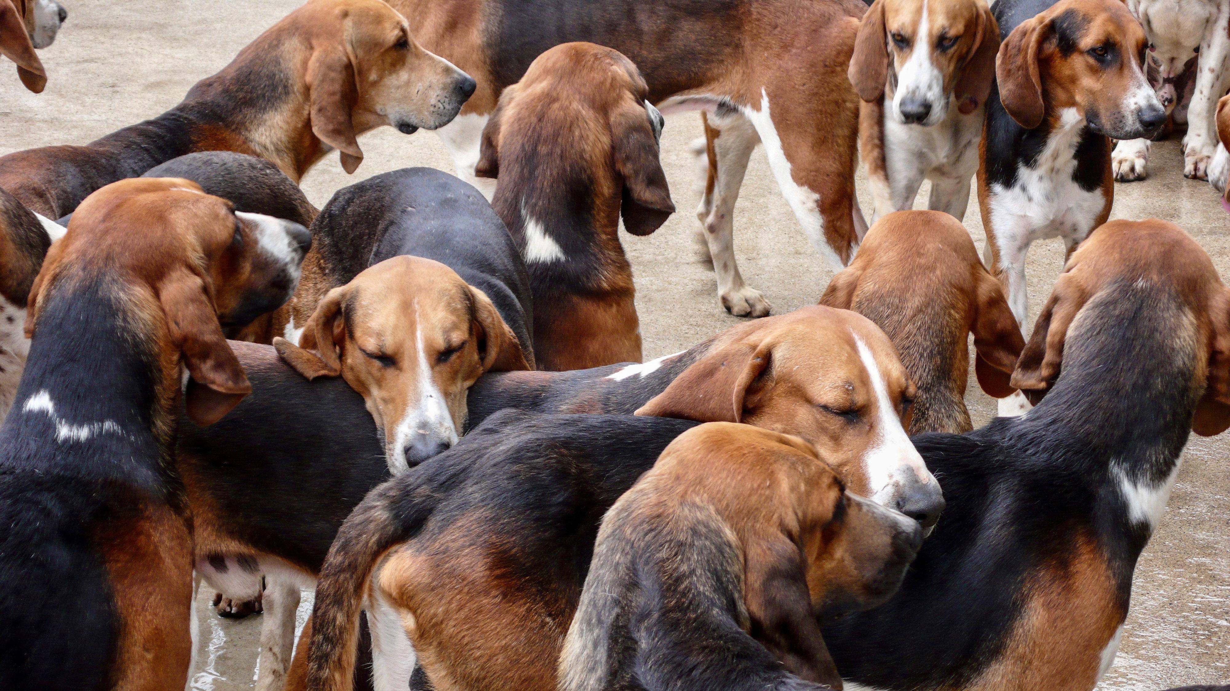 Cheverny Hundemeute scheinbare Schläfrigkeit vor der Fütterung