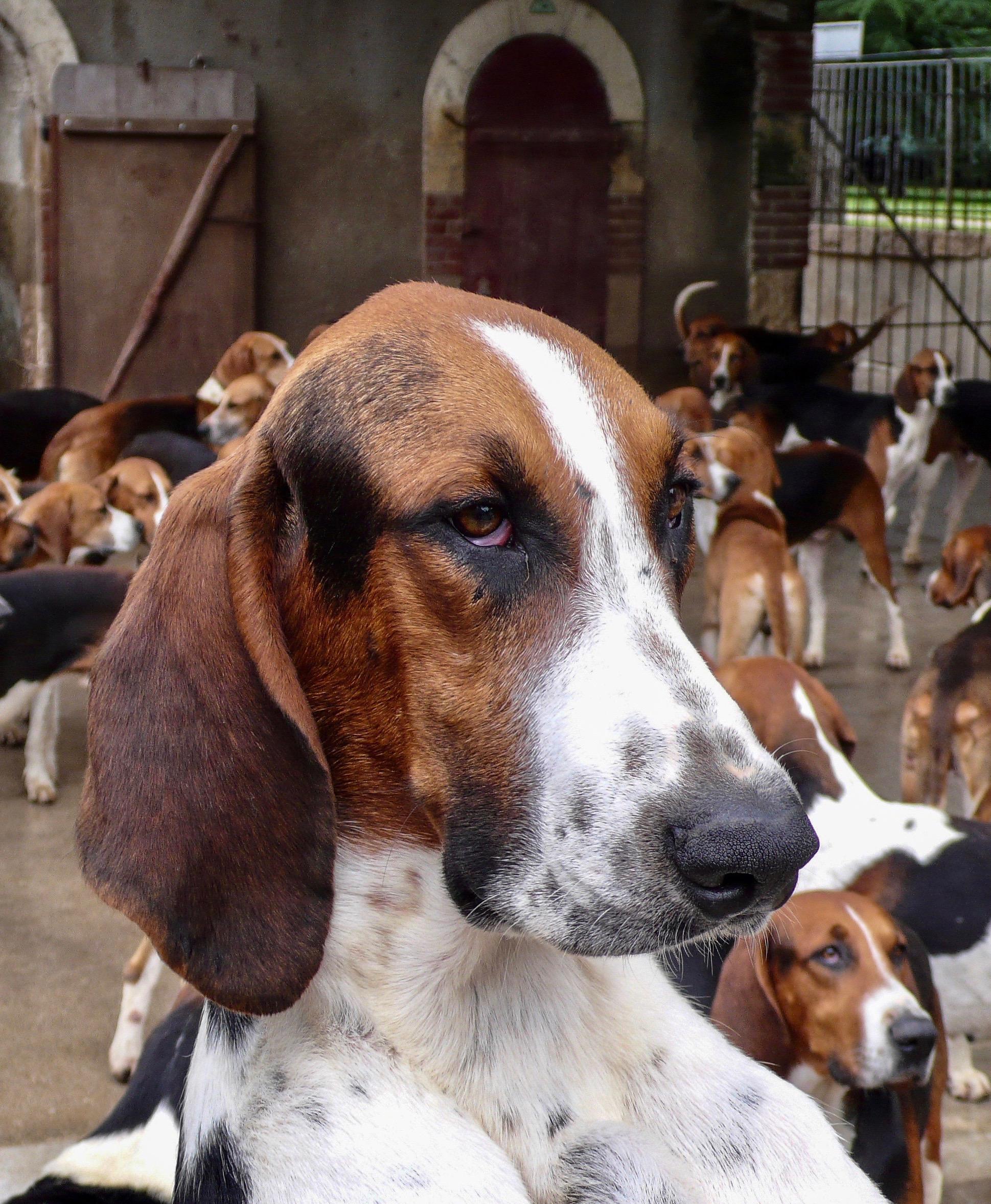 120 Dreifarbige Laufhunde in Cheverny ein prachtvoller Rüde