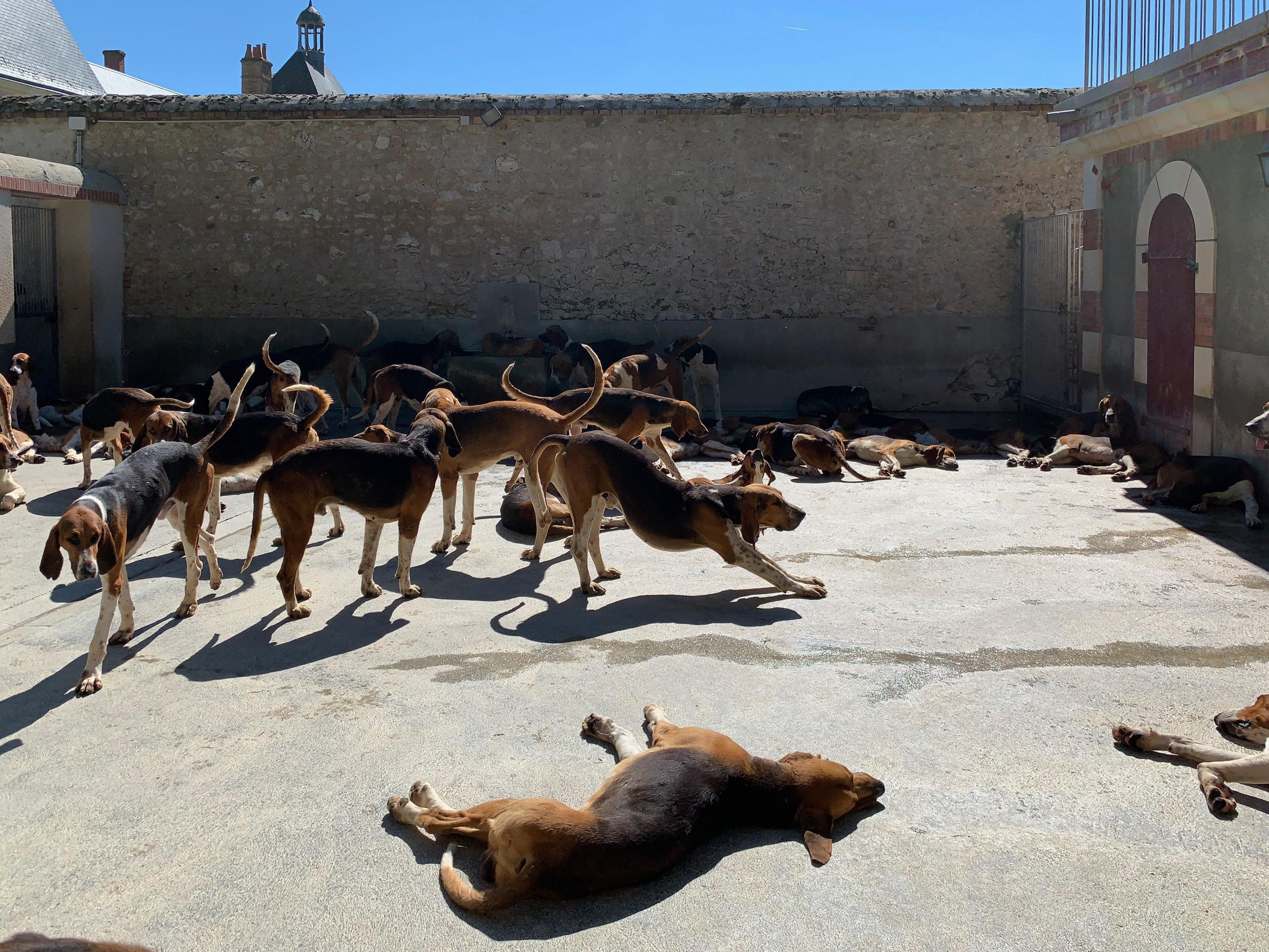 120 Dreifarbige Laufhunde in Cheverny vor der Fütterung