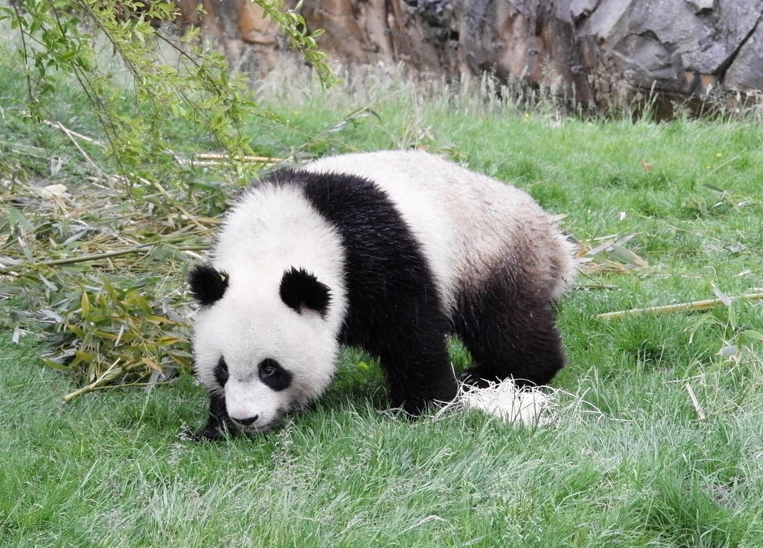 Große Pandas in Beauval Morgengang