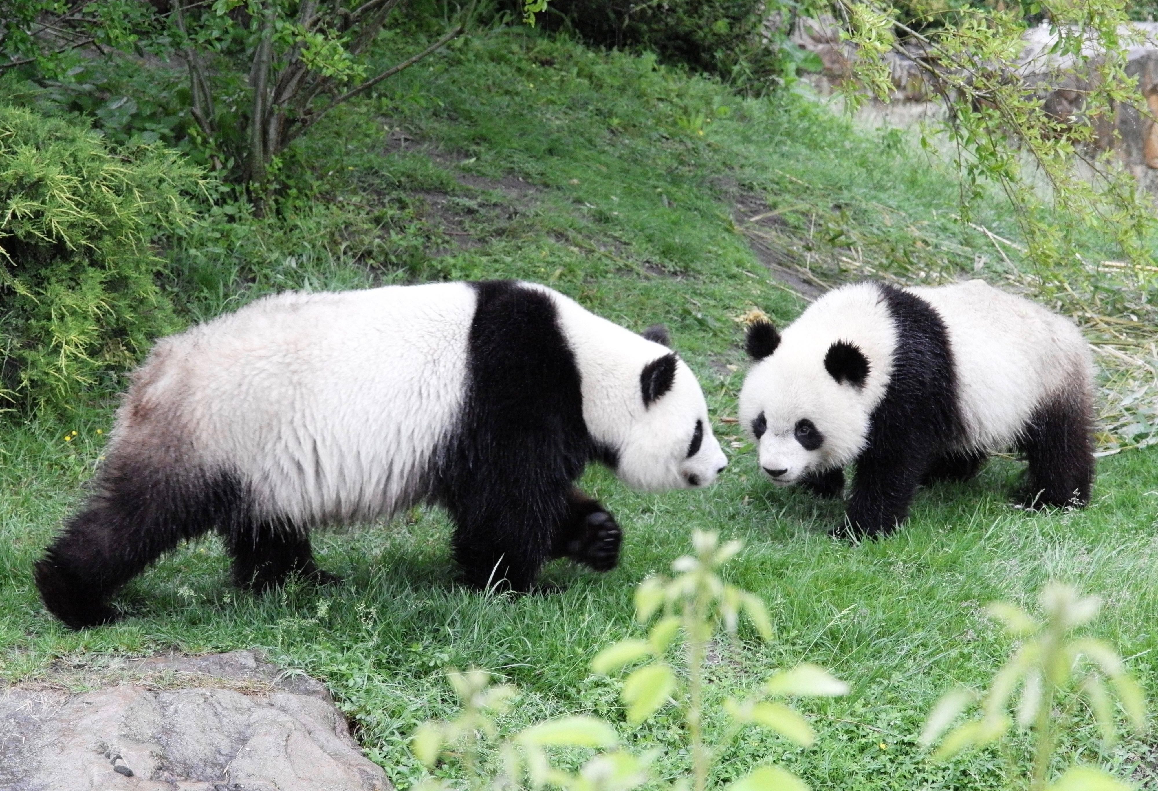 Große Pandas in Beauval freundliche Begegnung