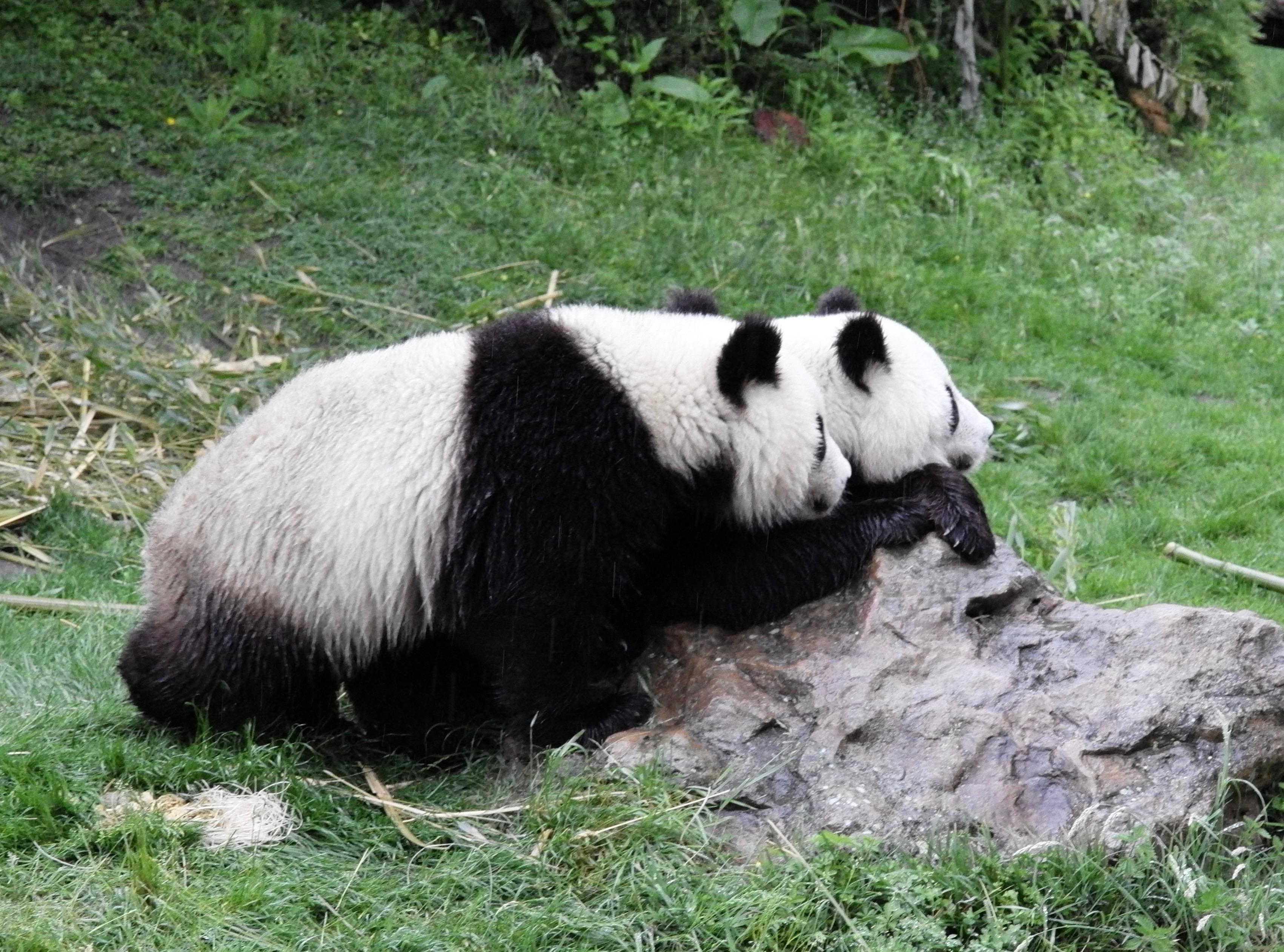 Große Pandas in Beauval parallel
