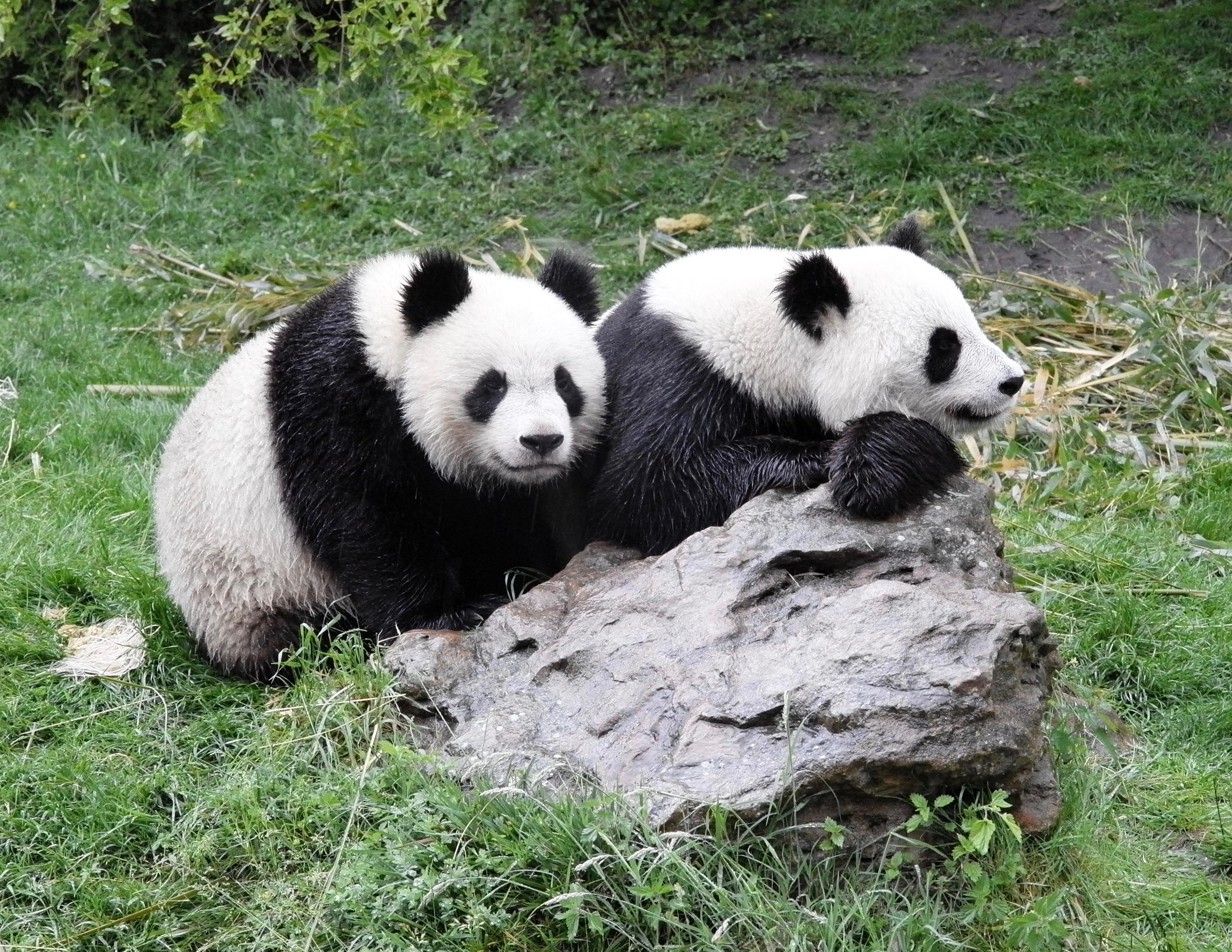 Große Pandas in Beauval als Betrachter der Betrachter