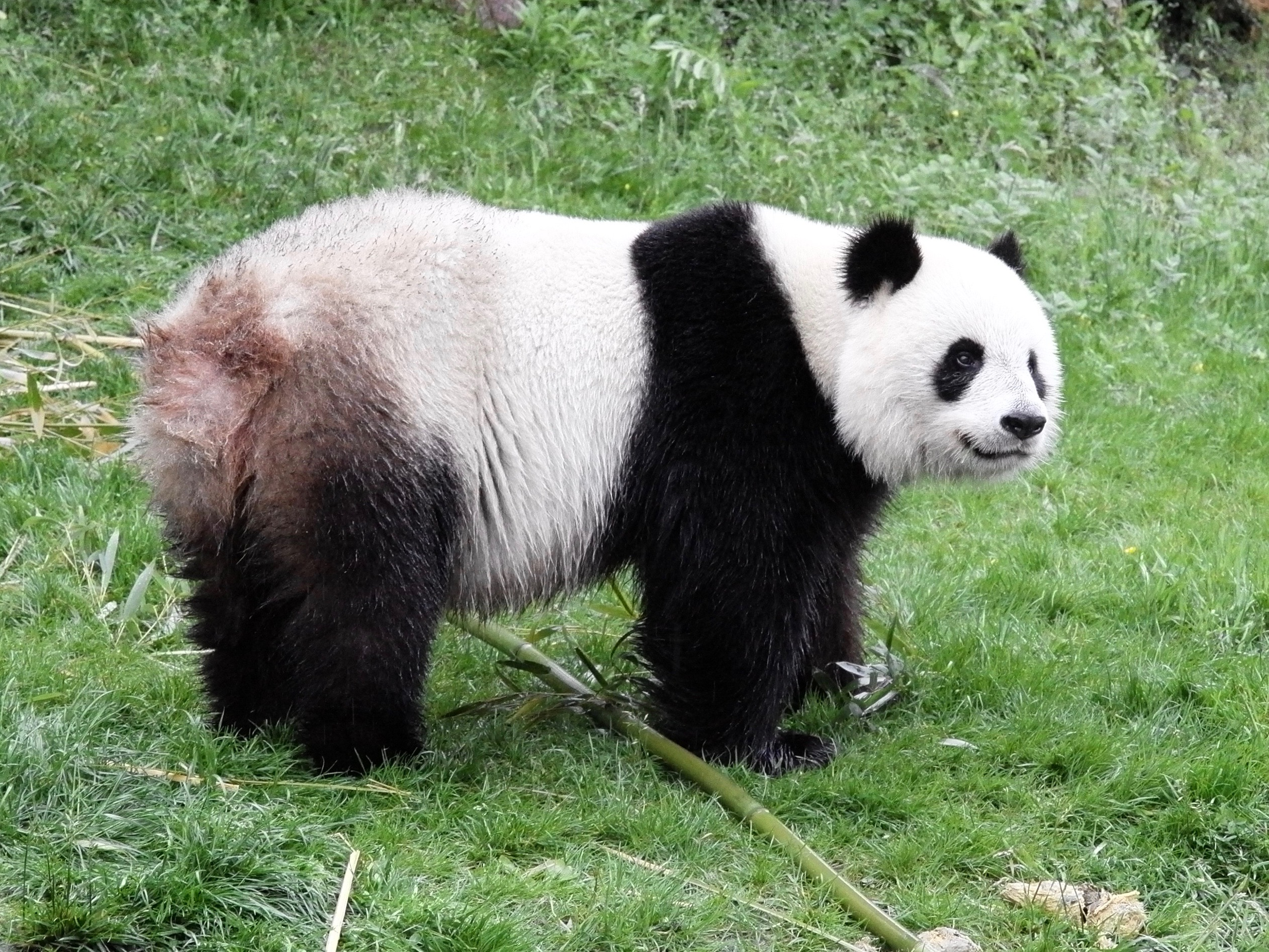Große Pandas in Beauval Seitenblick