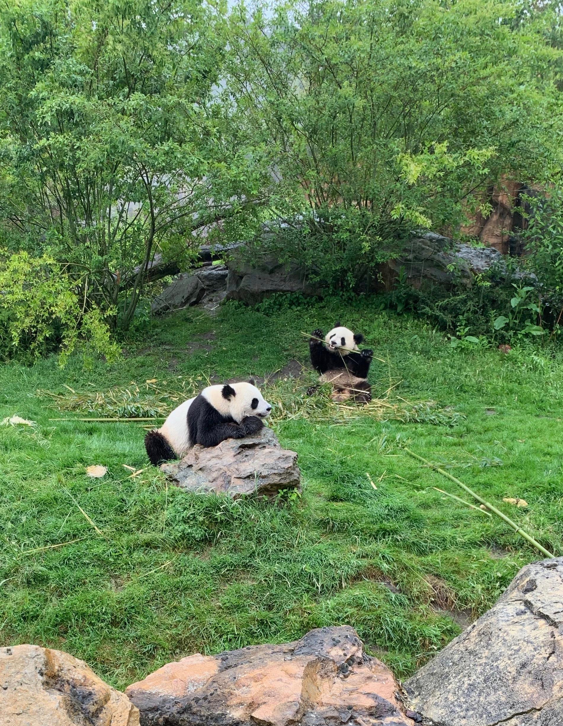 Große Pandas in Beauval