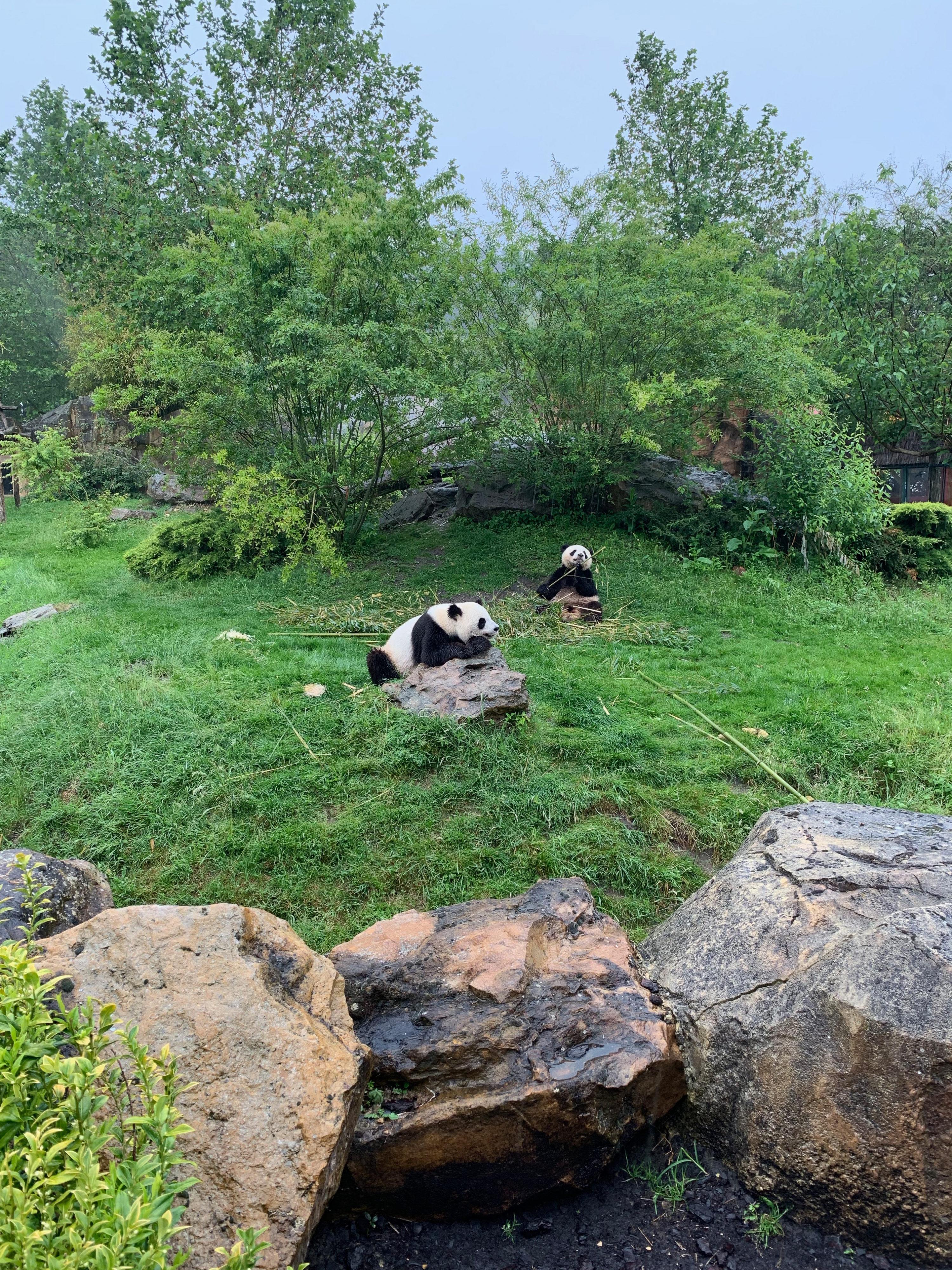 Beauval Pandas Beginn der Mahlzeit