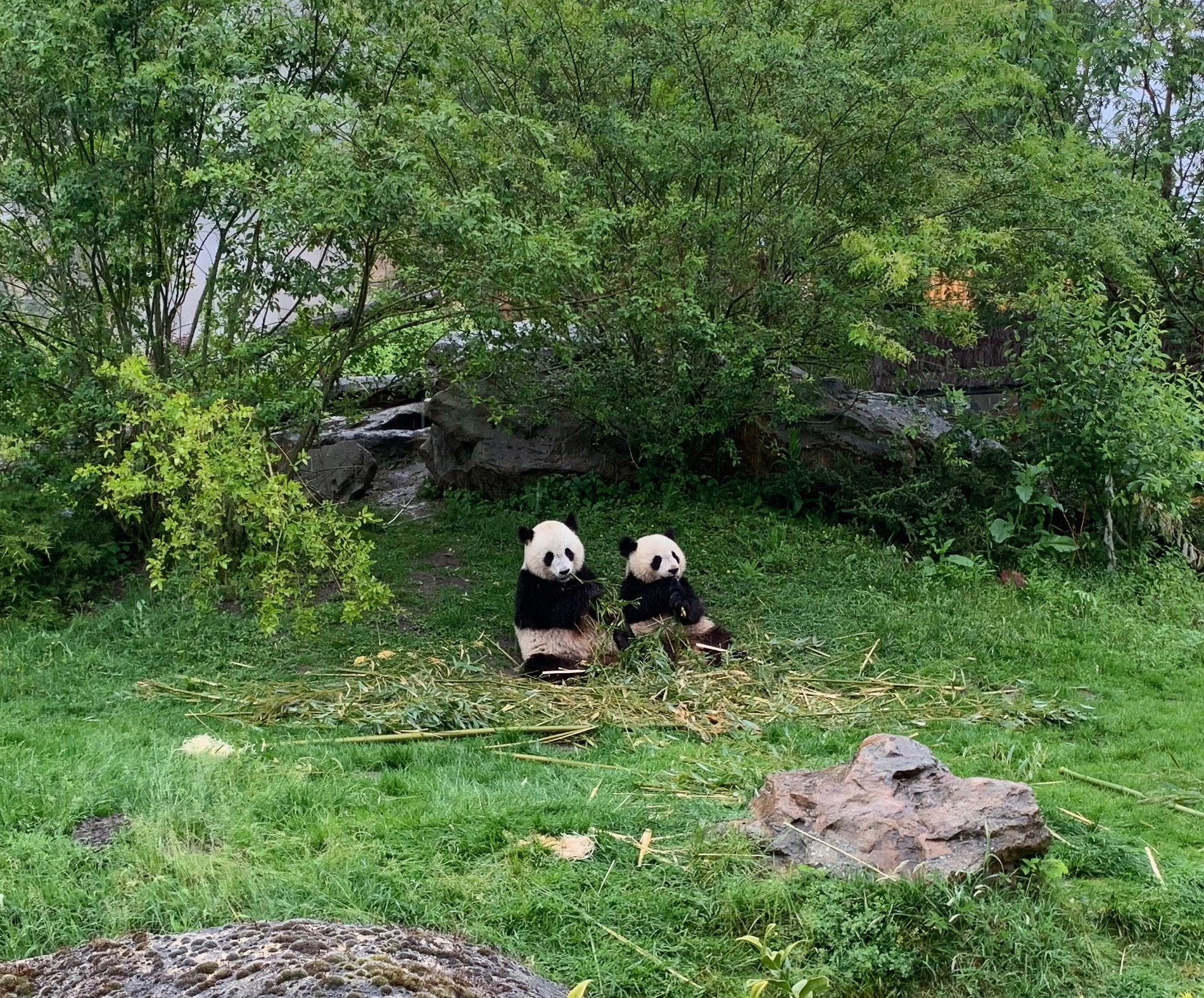Große Pandas in Beauval fast wie bei Wilhelm Busch