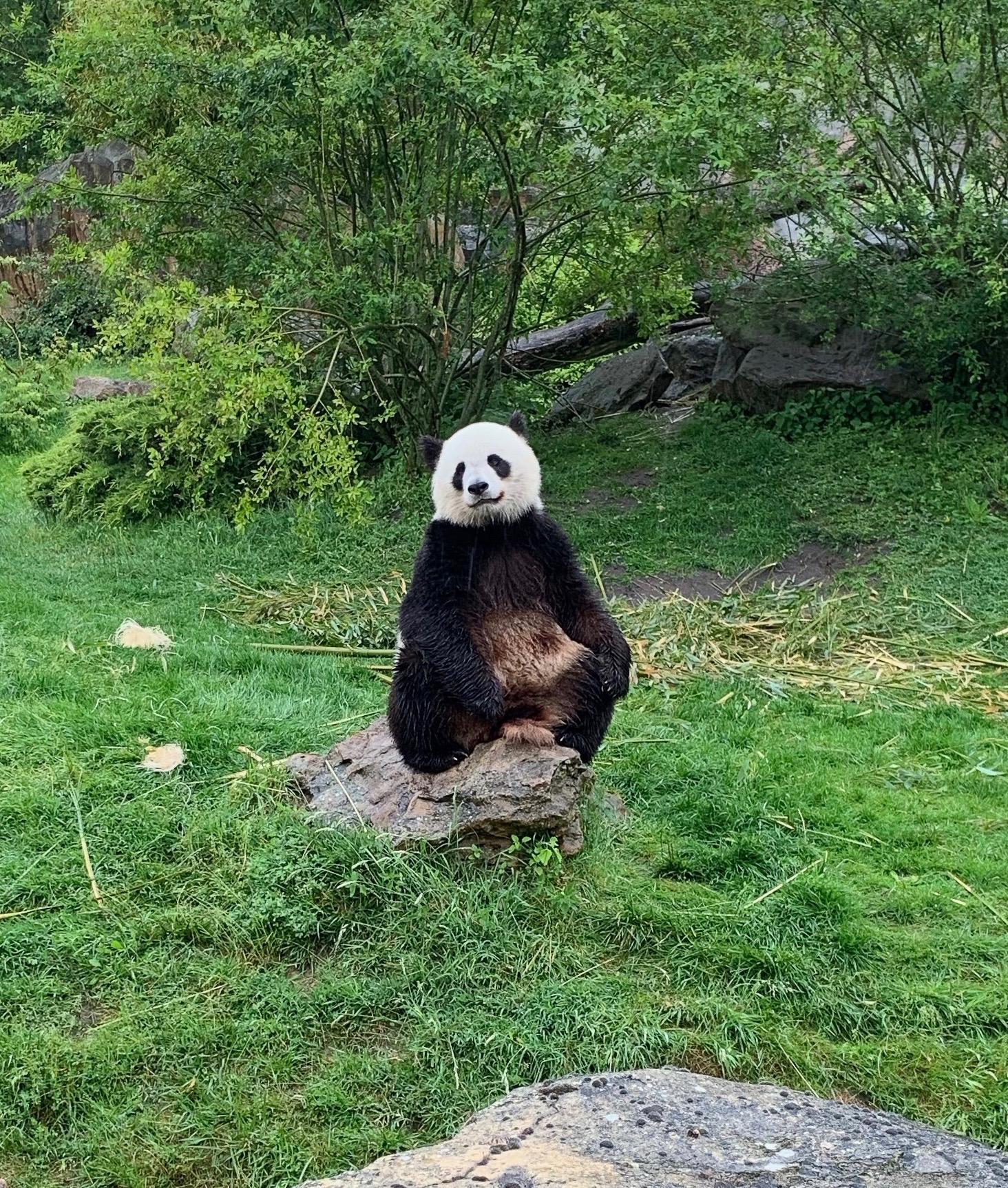 Beauval mit etwas melancholischem Panda
