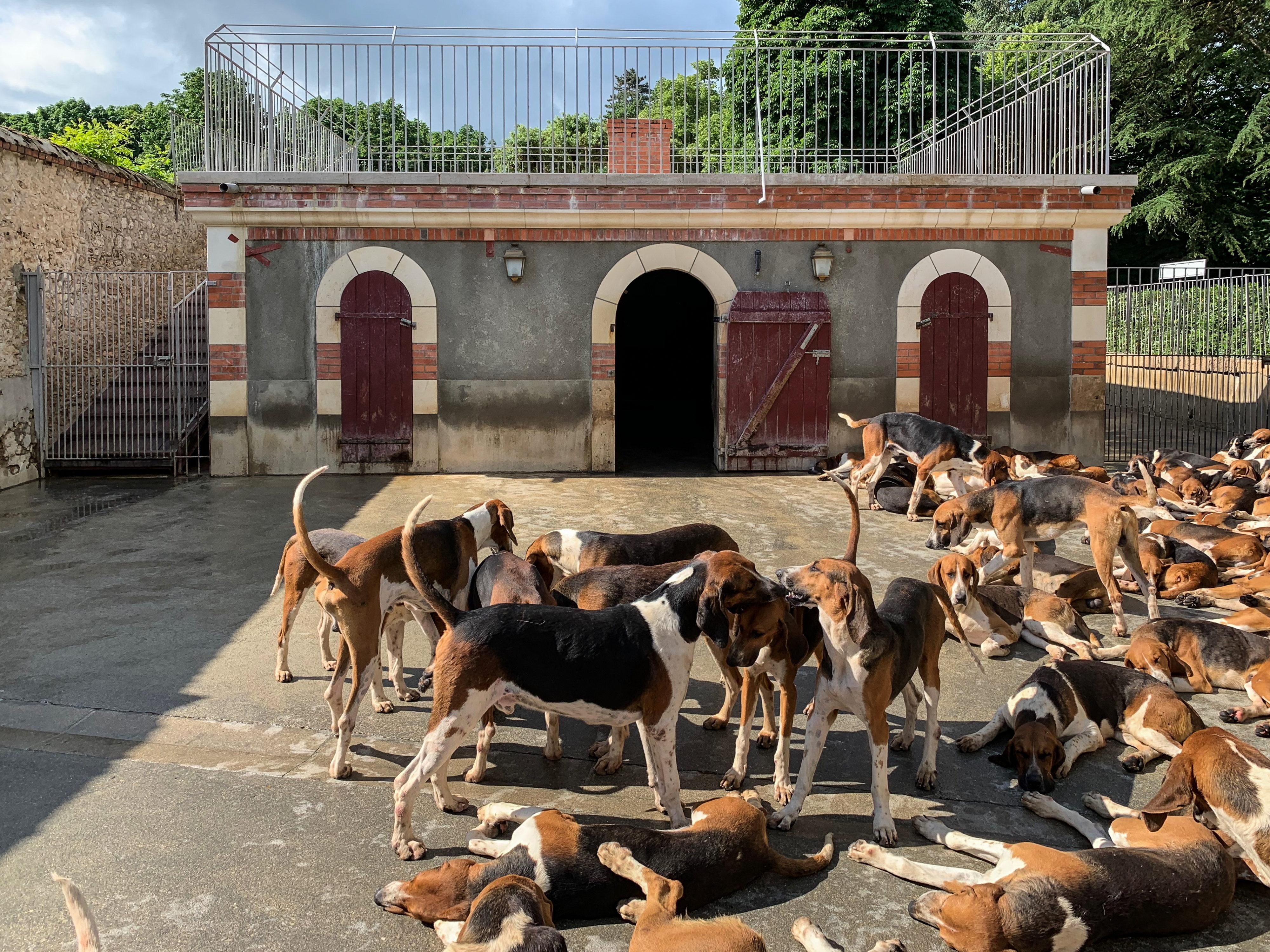 Cheverny Anglo-französische Dreifarbige Laufhunde schönster Art