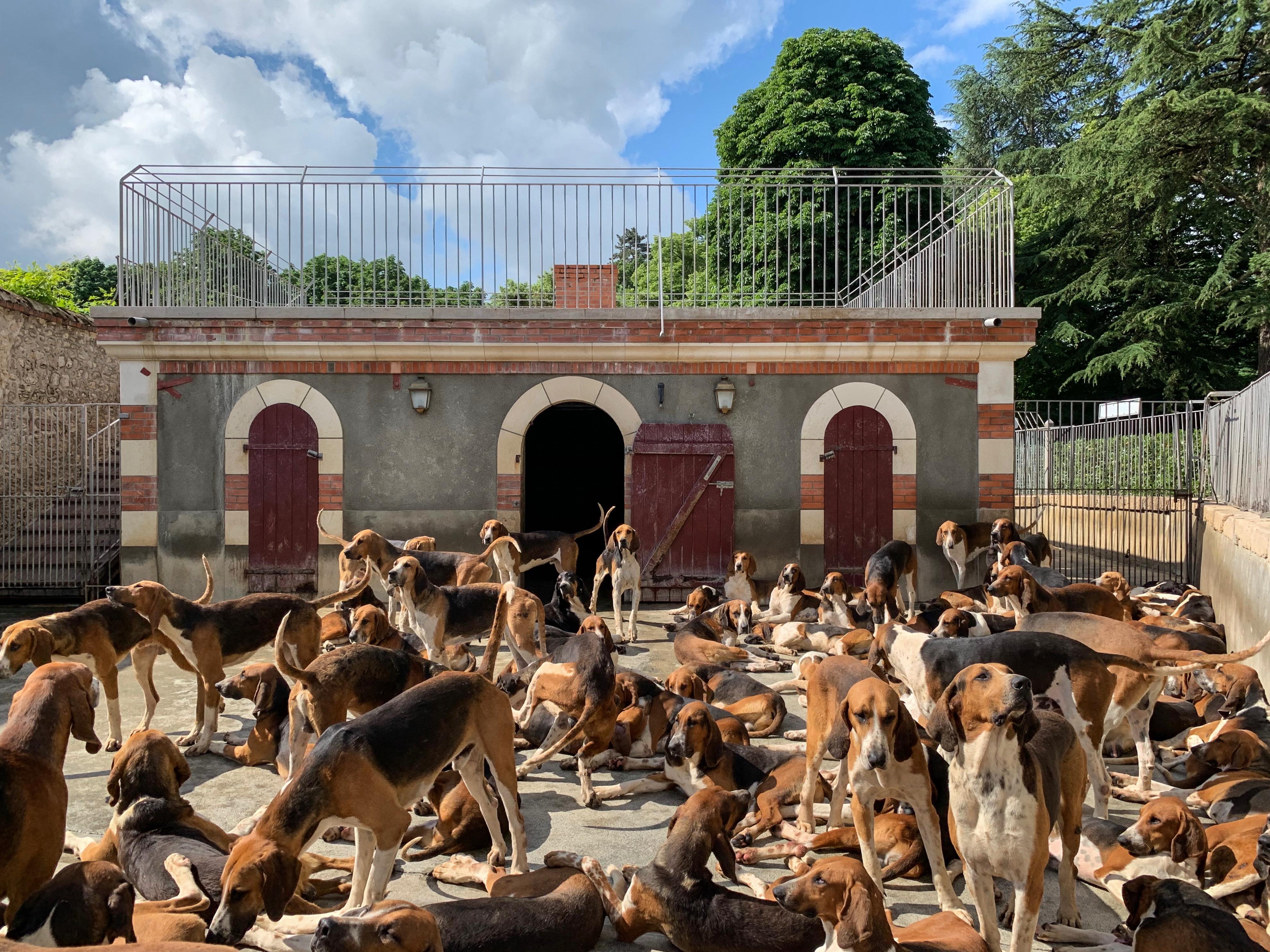 120 Dreifarbige Laufhunde in Cheverny ½ h vor der Fütterung