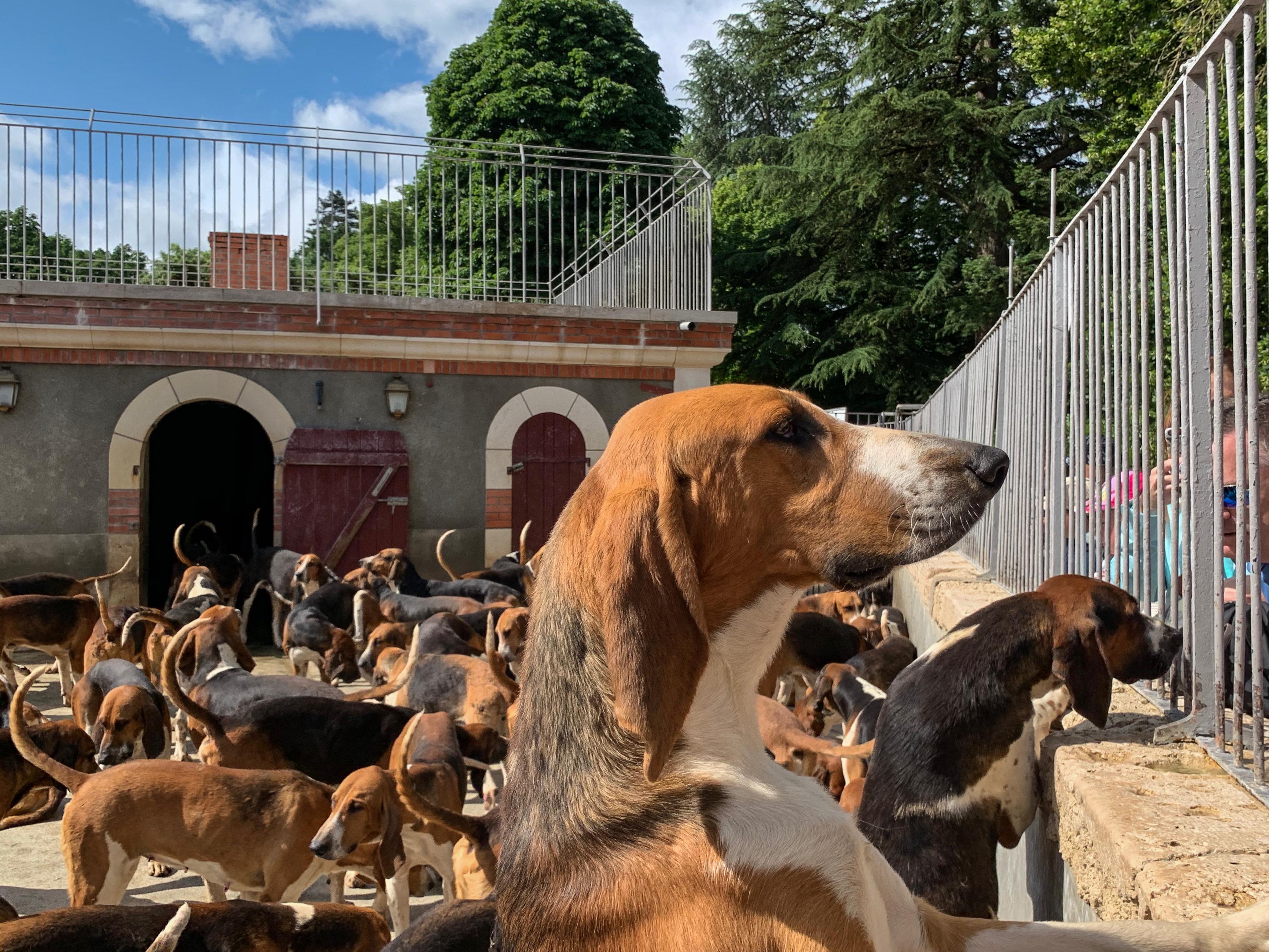 120 Dreifarbige Laufhunde in Cheverny Neugier I