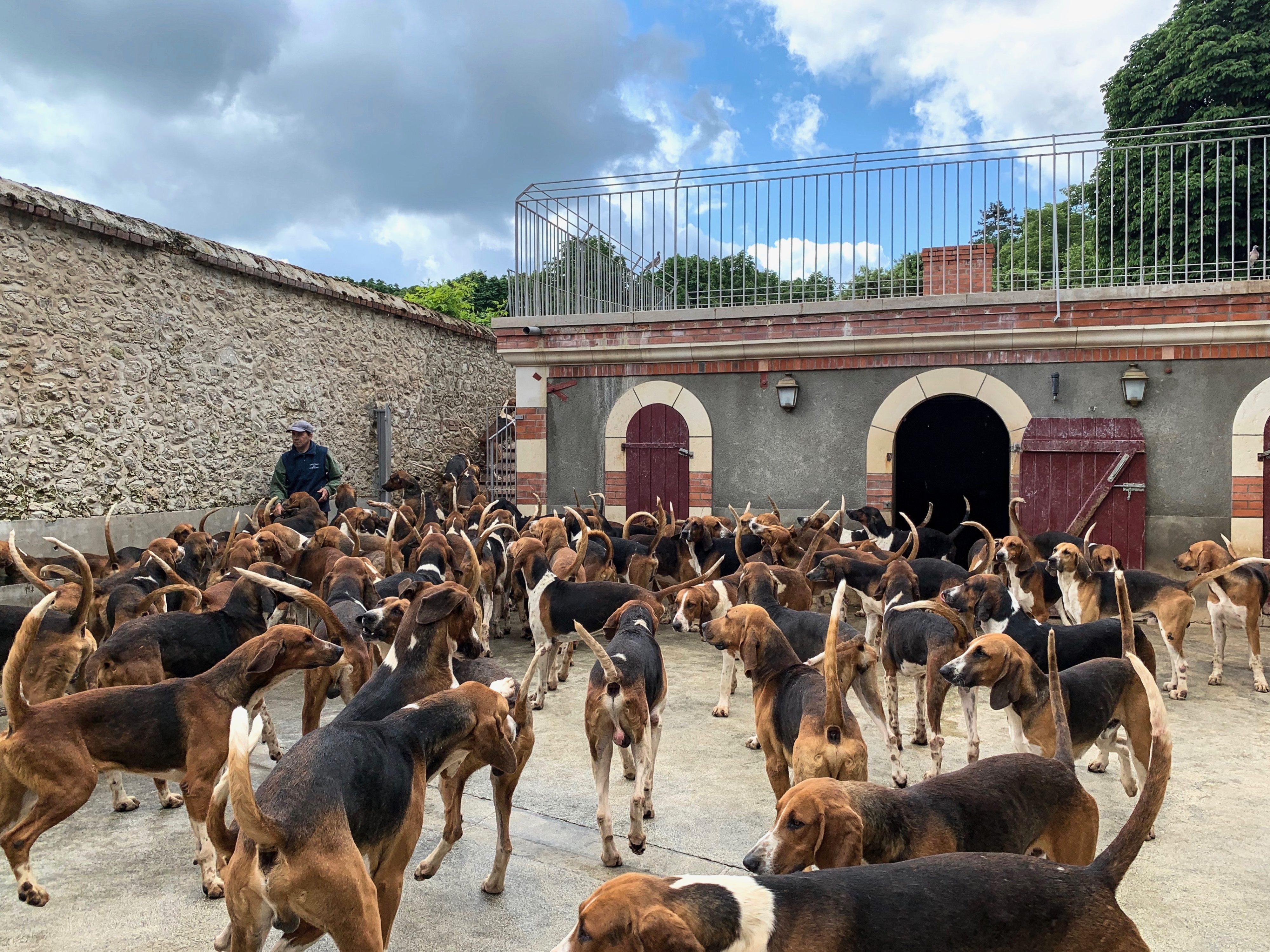 120 Dreifarbige Laufhunde in Cheverny Gang zur Fütterung