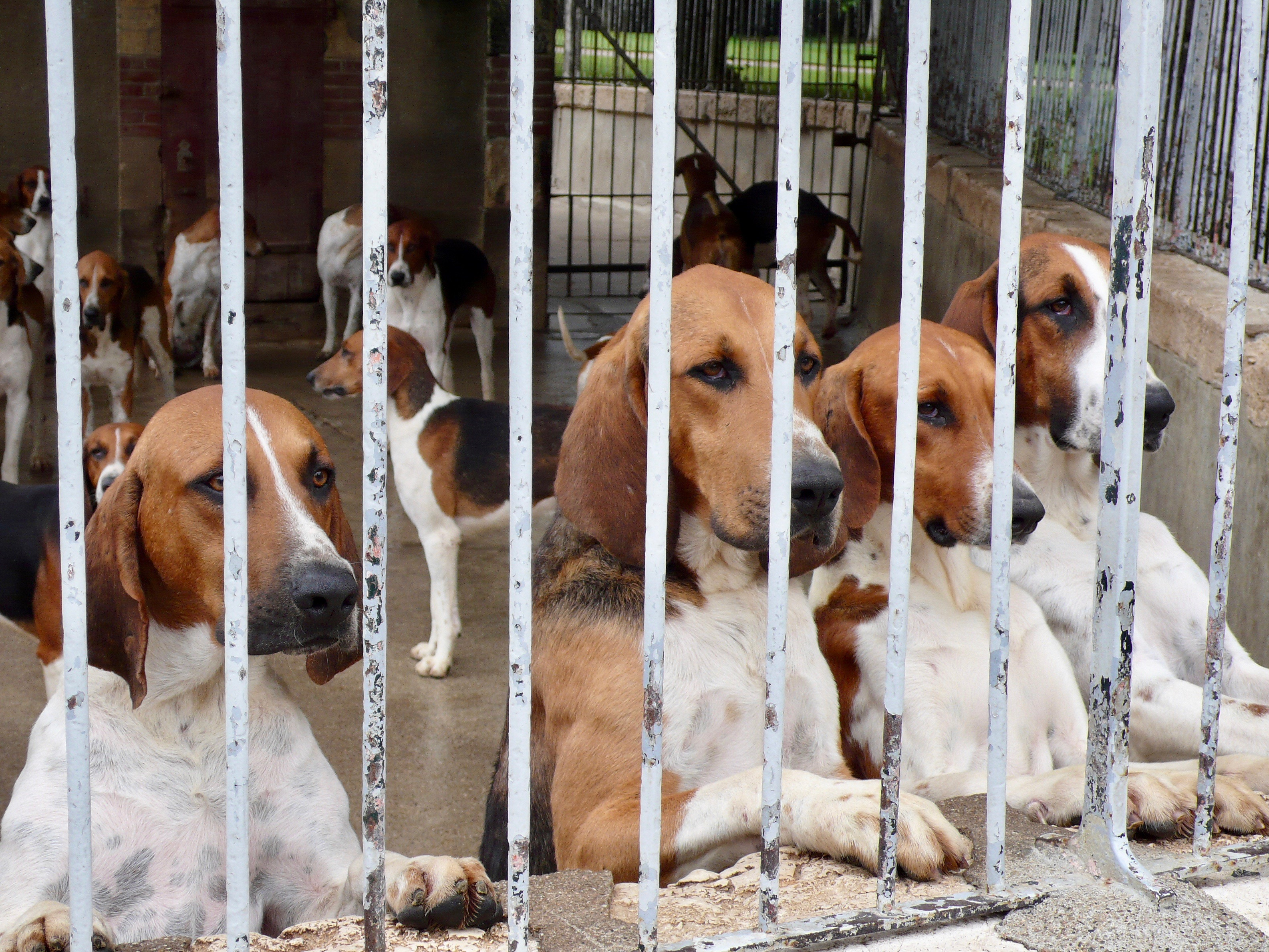 120 Dreifarbige Laufhunde in Cheverny Neugier II