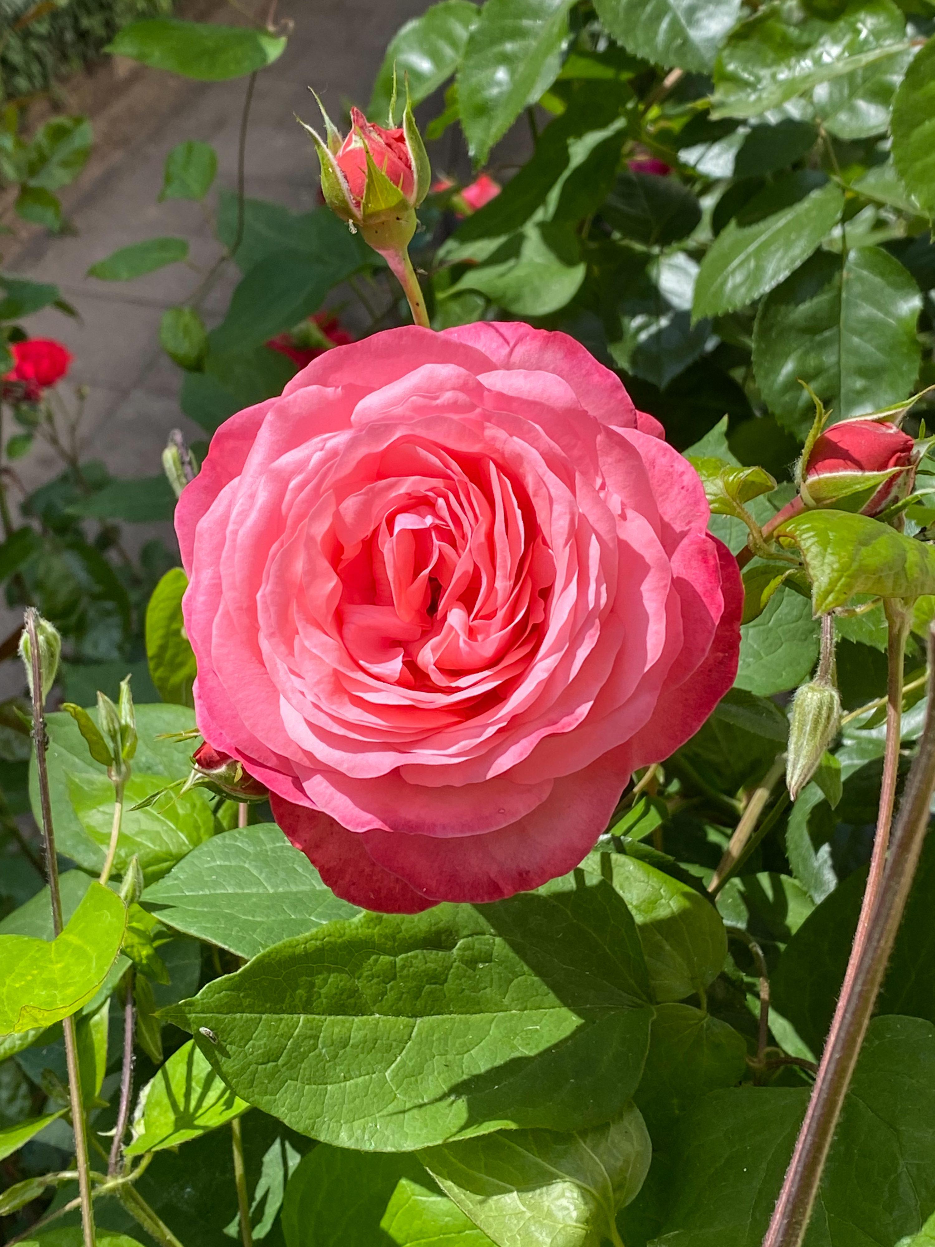 Pfingstgrüße und beste Wünsche letter rose Rosanna