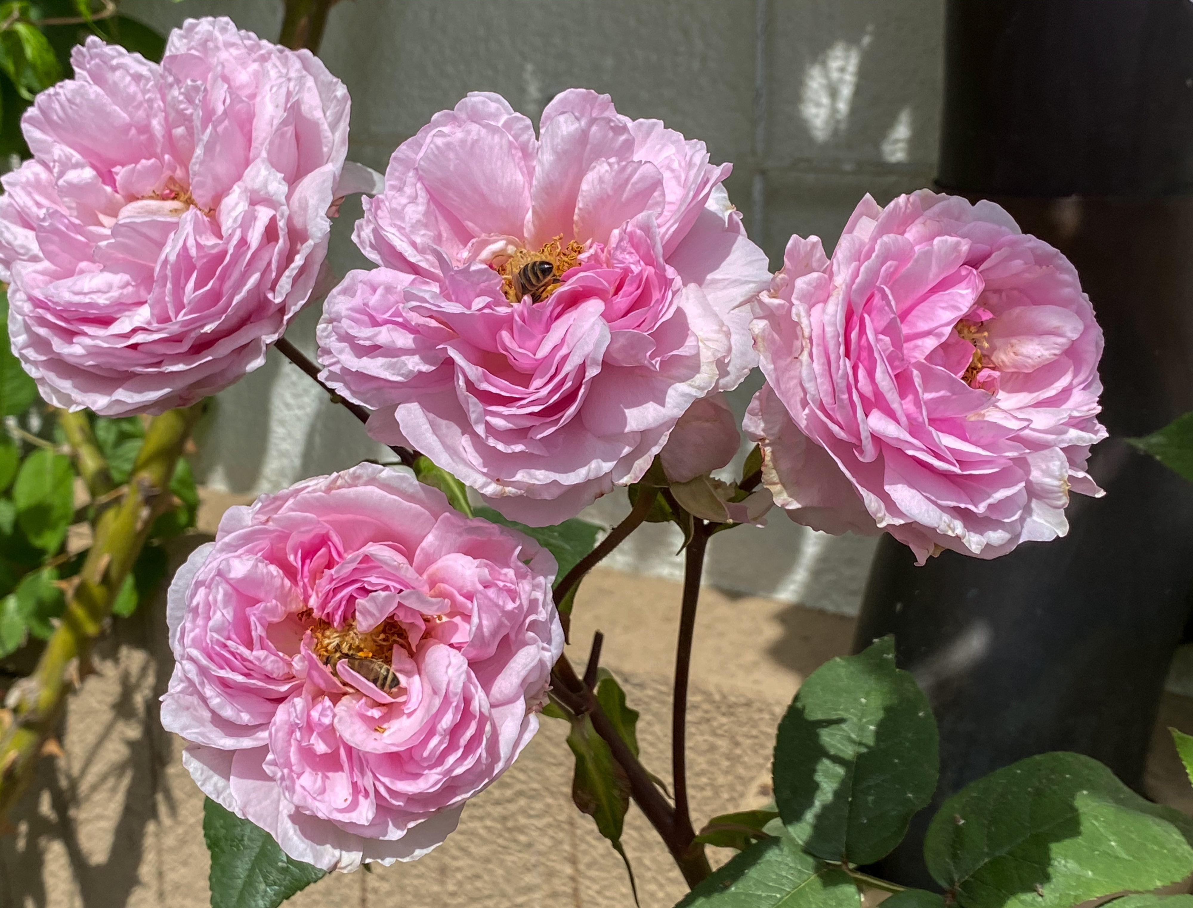 Pfingstgrüße und beste Wünsche Edelrose Mme. Ernest Calvat