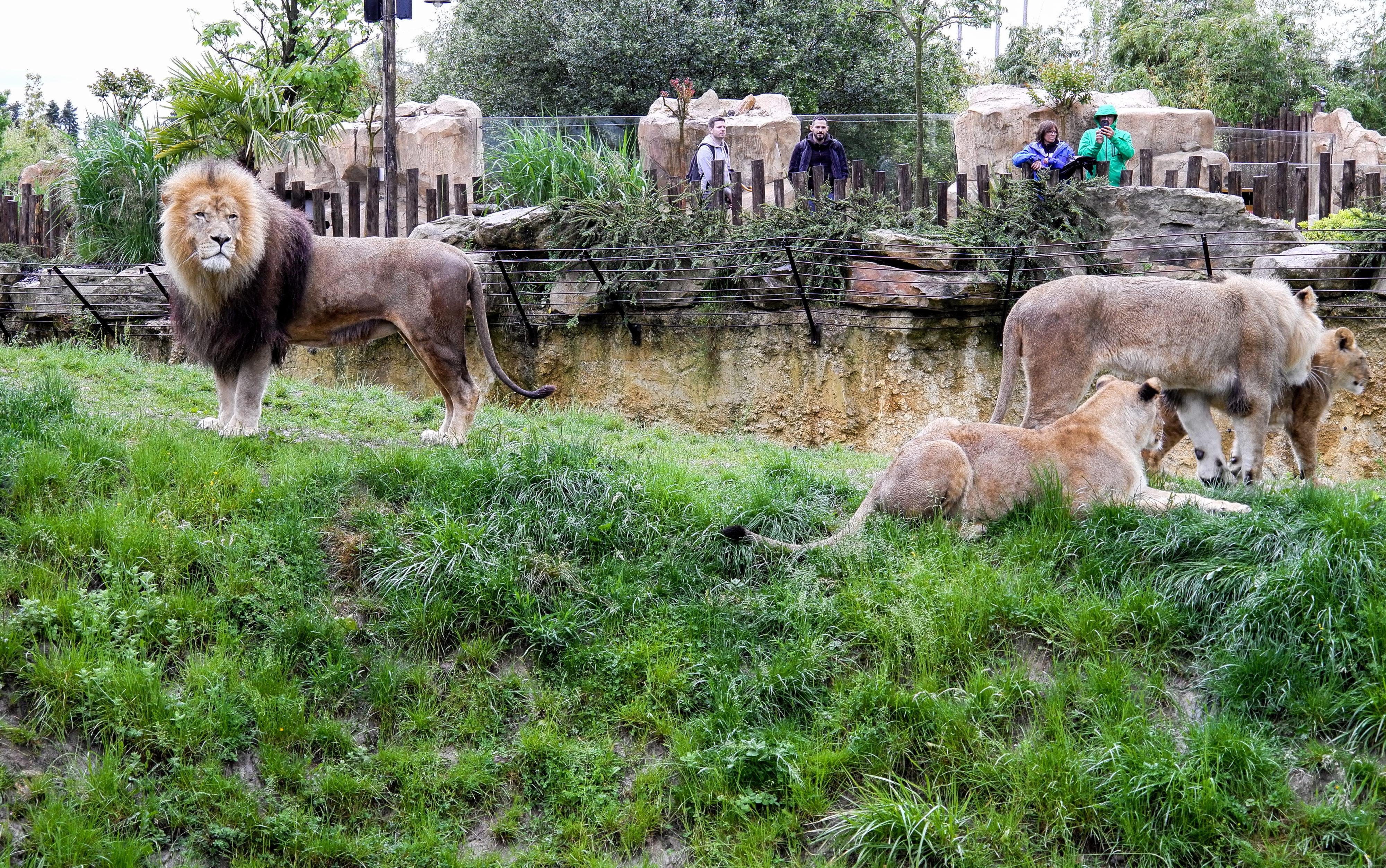 Beauval Löwen im Regen