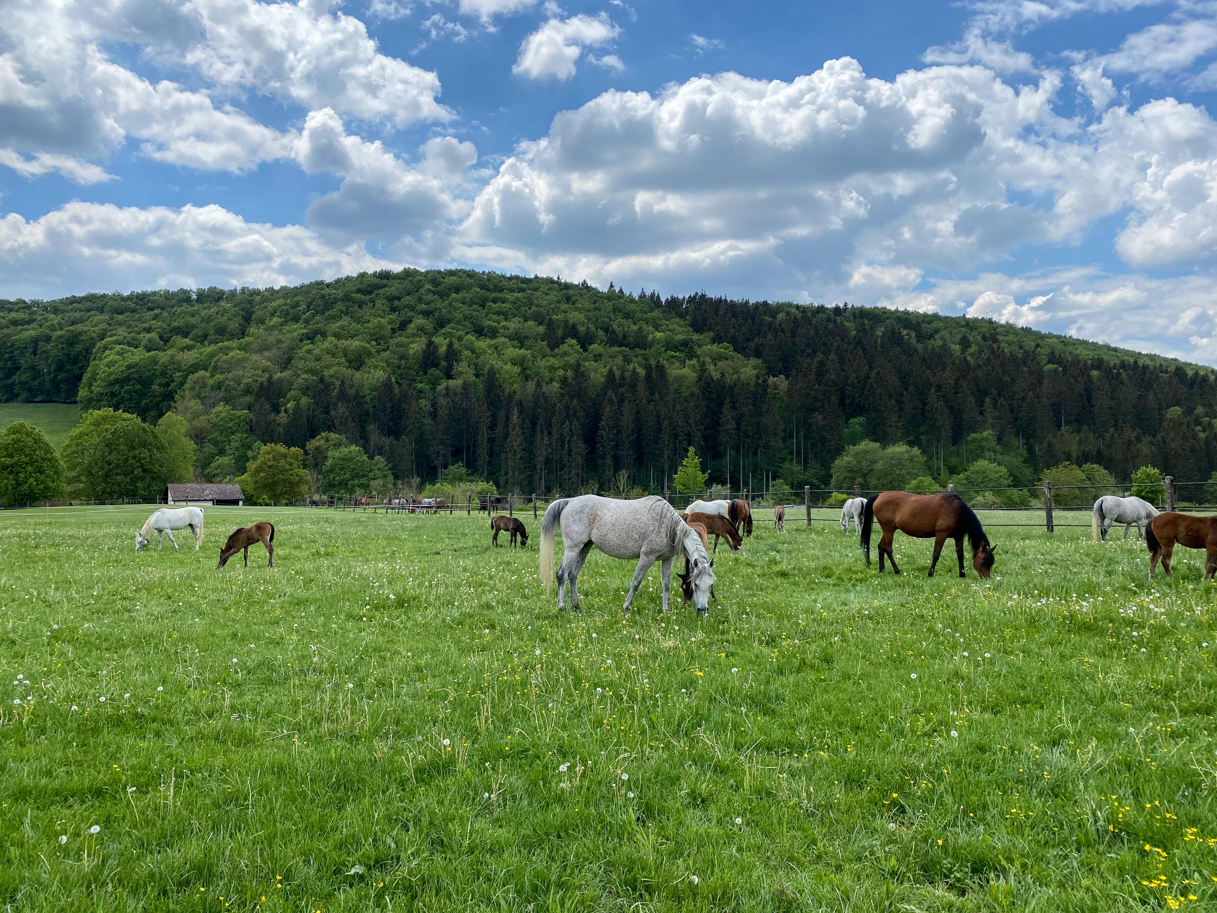 Weil-Marbacher Araberzucht – Weideszenen im Pferdeparadies