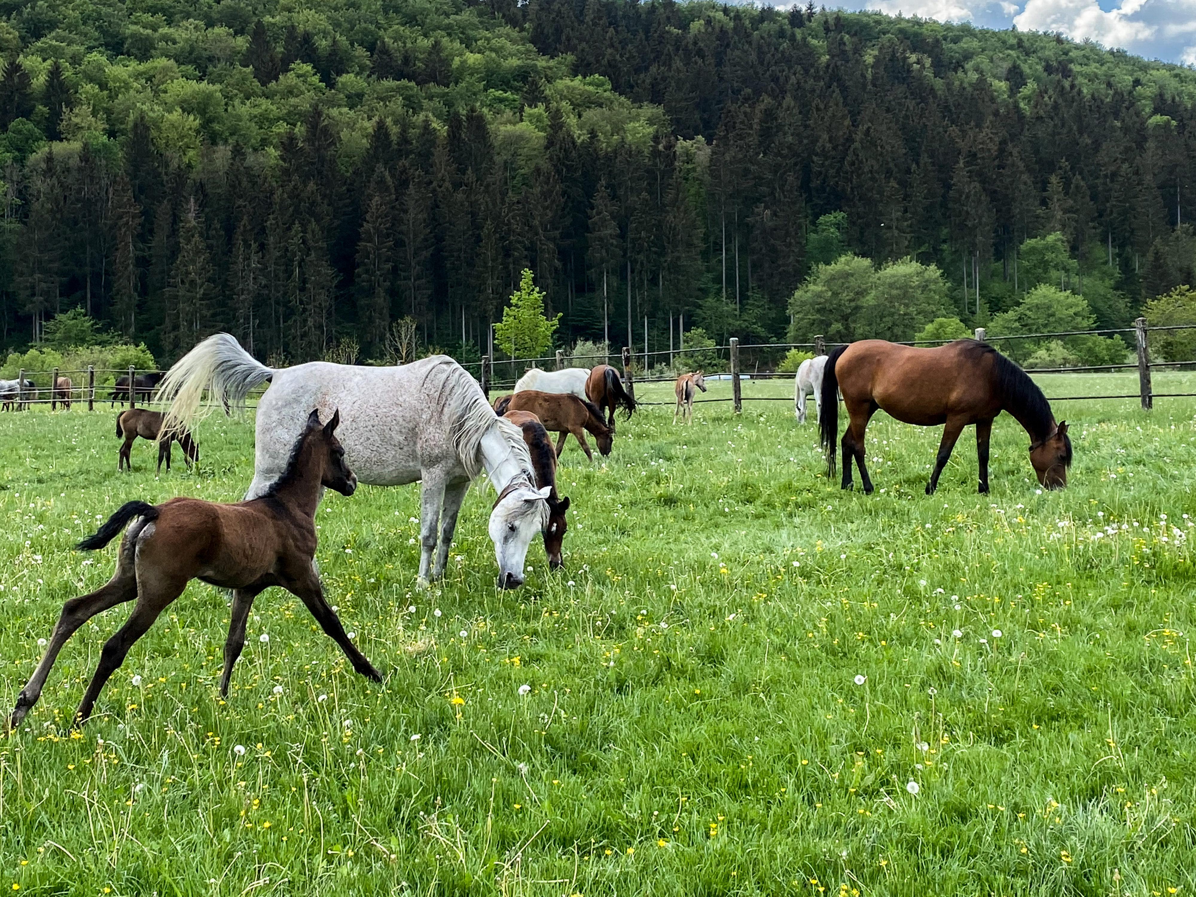 Weil-Marbacher Araberzucht – Weideszenen im Pferdeparadies Mai 2020