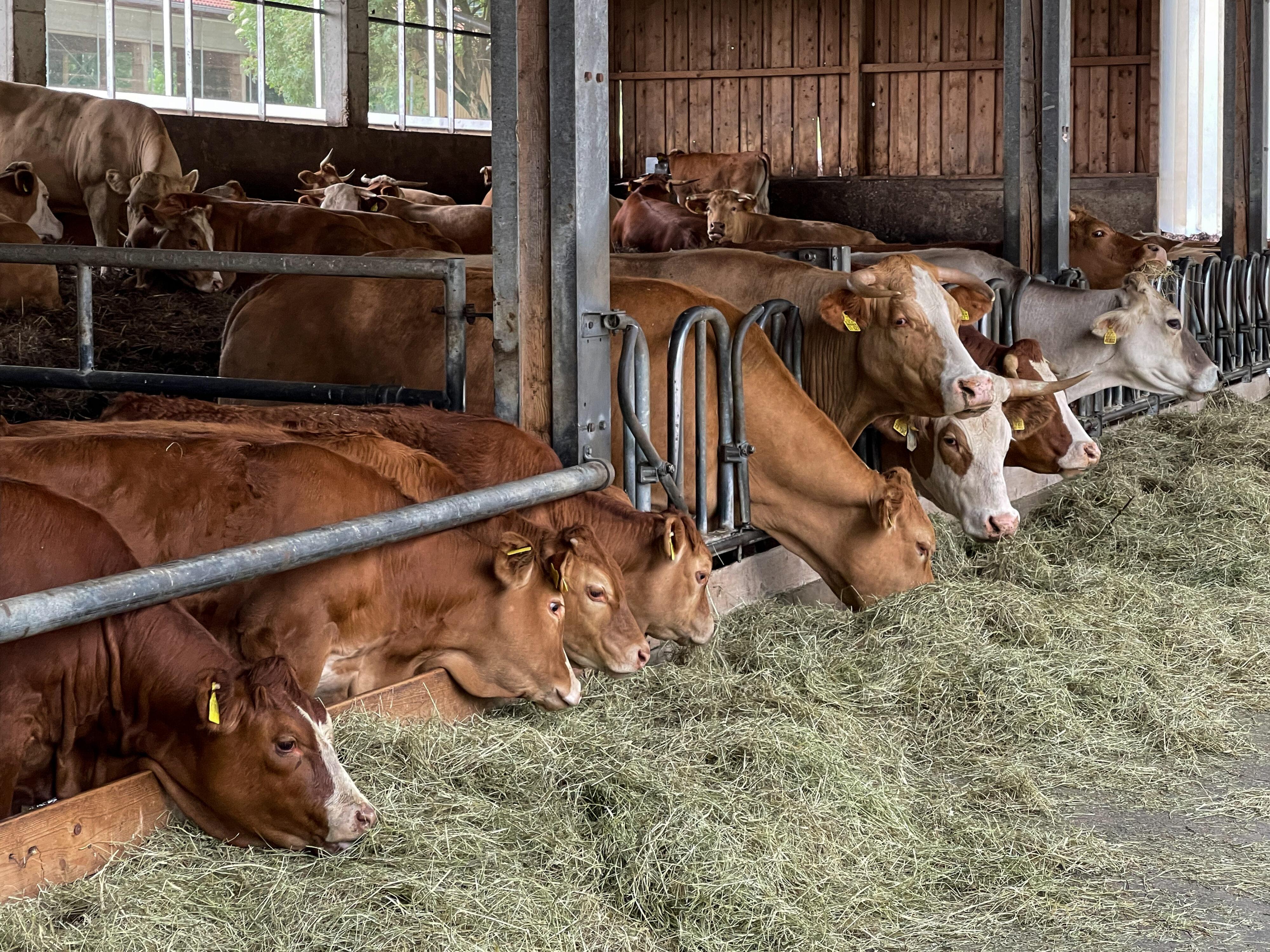 Tierwohl bei Mutterkuhhaltung auf dem Erharthof: Kälber und Kühe sind getrennt