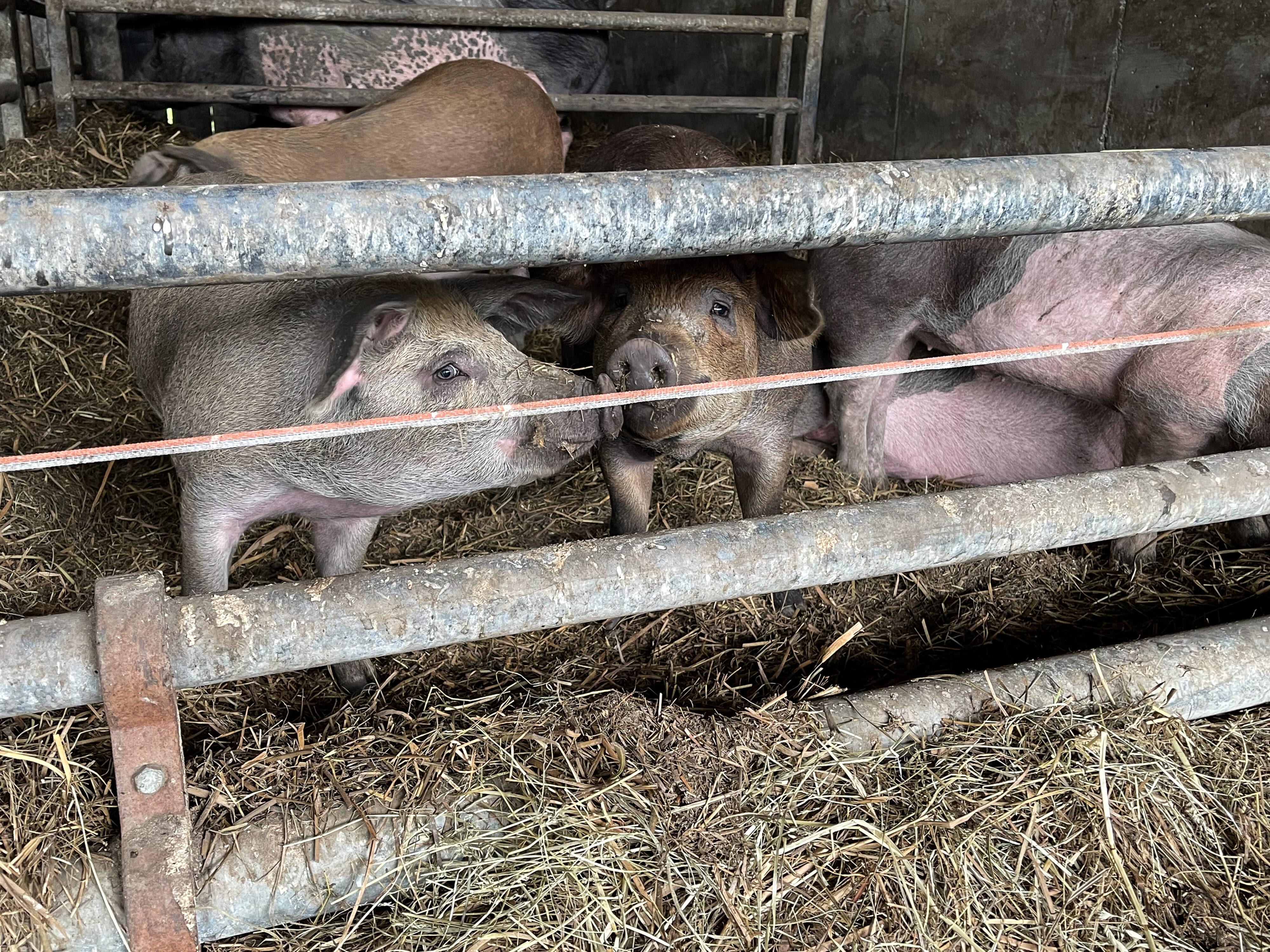 Schwäbisch-Hällische Landschweine auf dem Erharthof: schmusender Nachwuchs